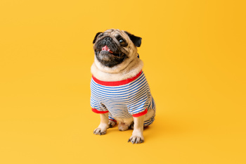 Cute pug dog in t-shirt on color background